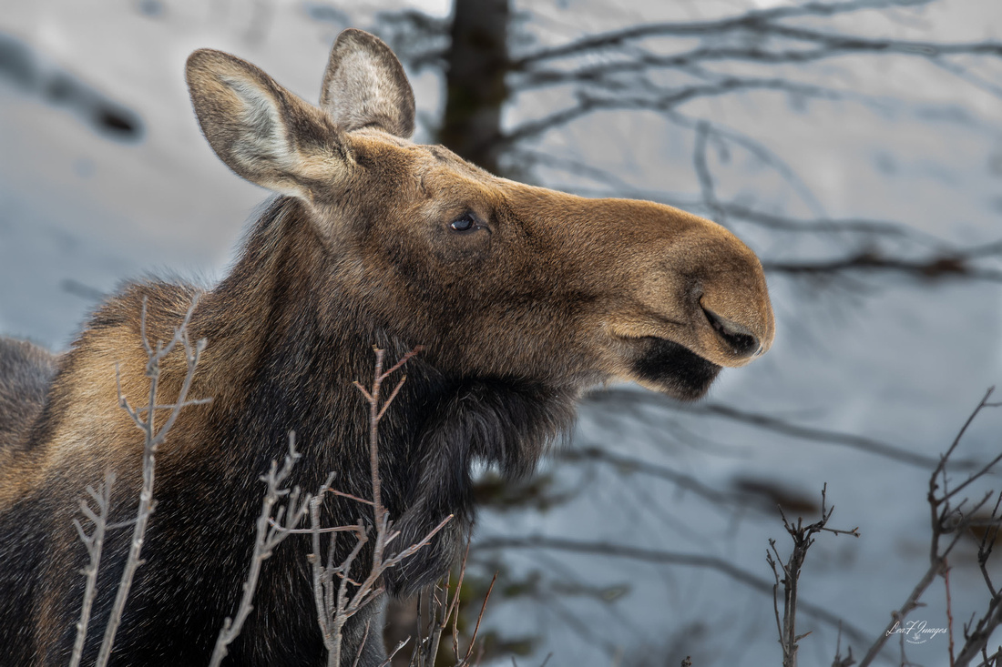 Simply Beautiful (Moose)