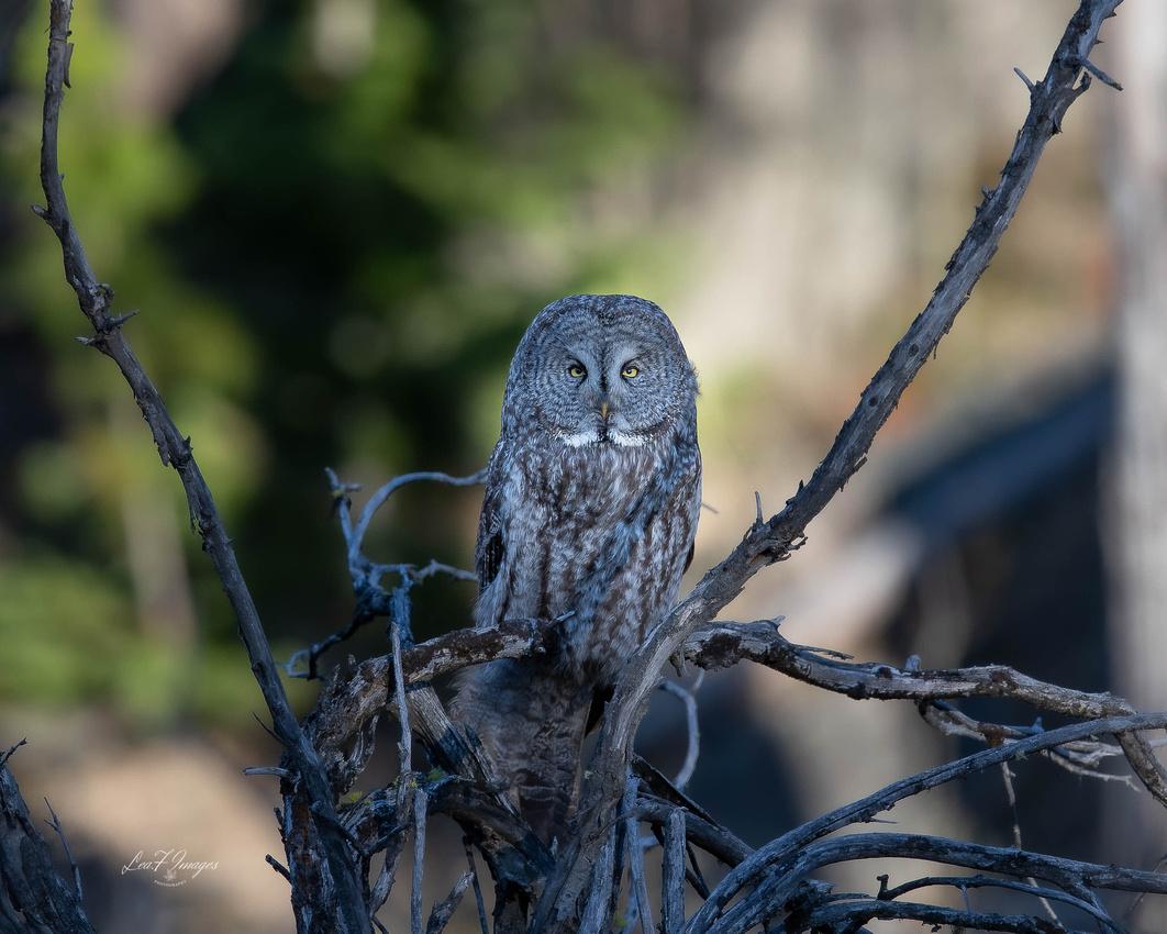 Mesmerizing Stare  (Great Gray Owl)